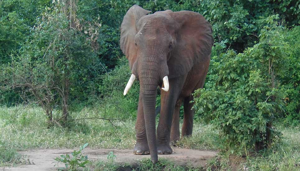 SSS-elephant