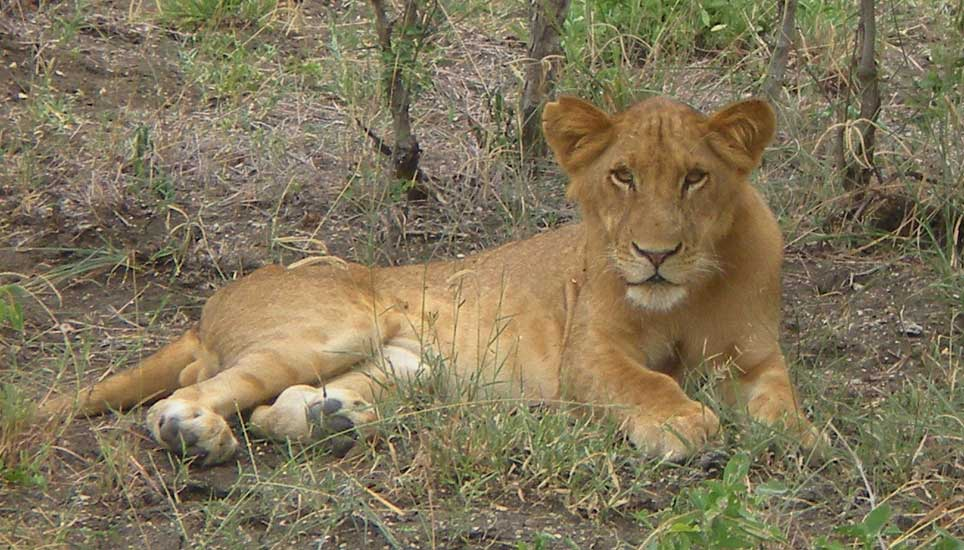 SSS-lion