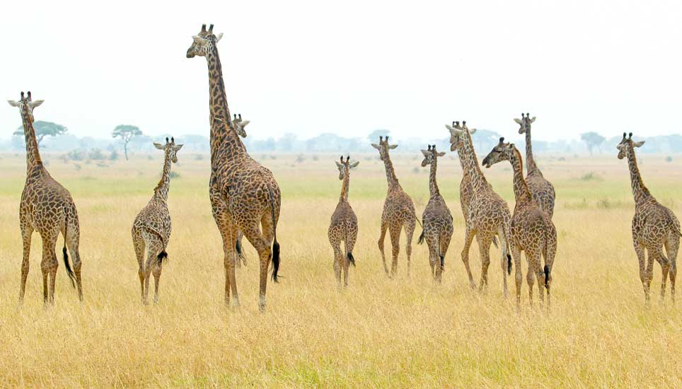 FSB-giraffe-family
