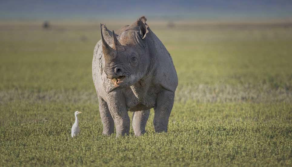 FSB-rhino