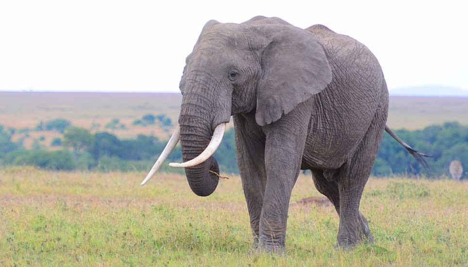 Massai-Wild-G4