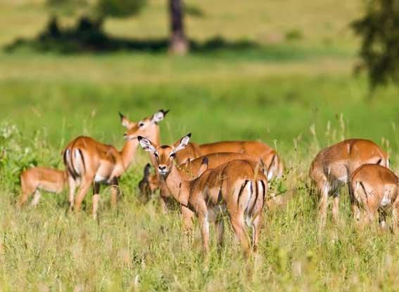 Tagangire wildlife