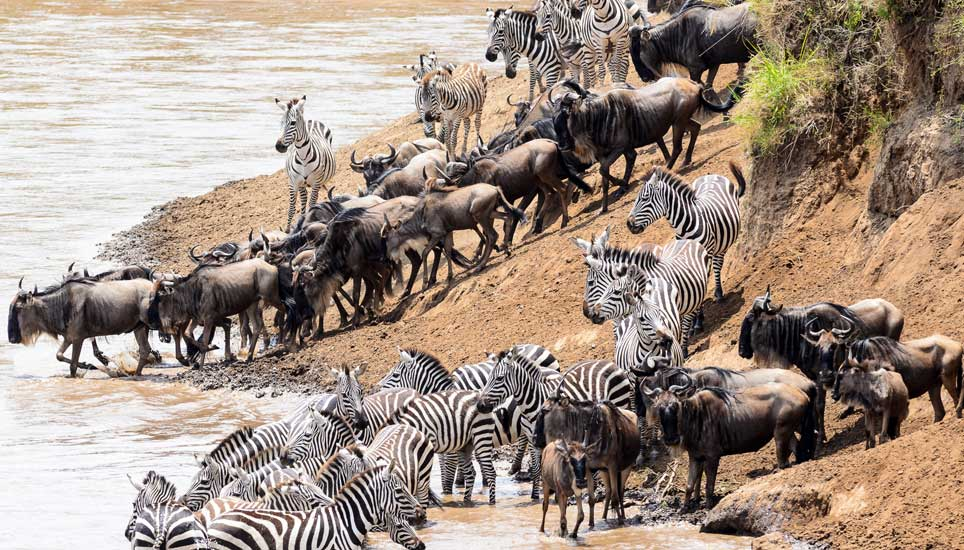 zebra and wildebeest at watering hole