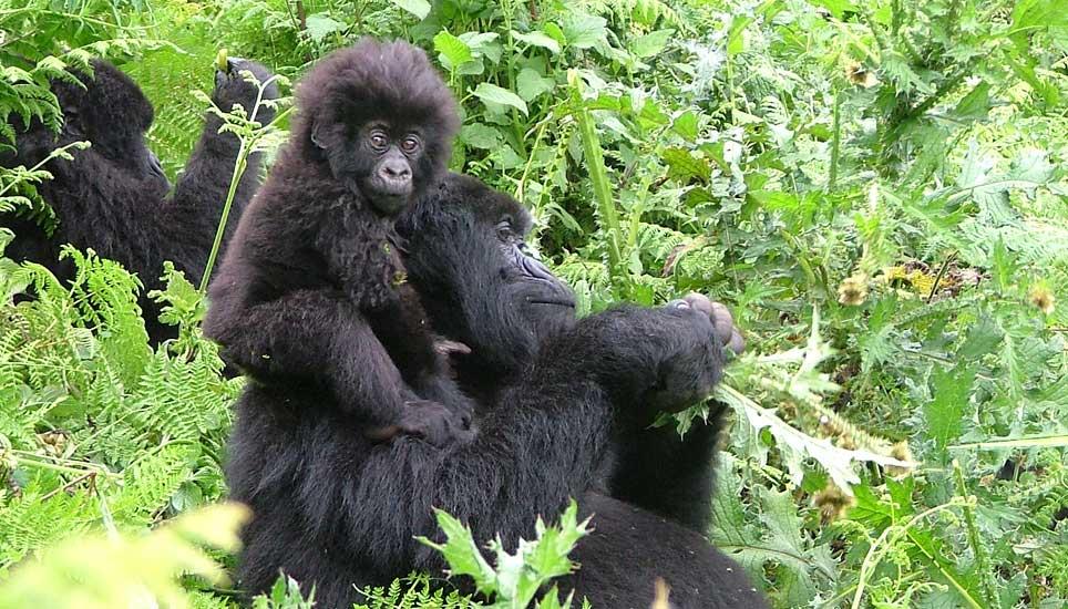 Gorilla-family-G1