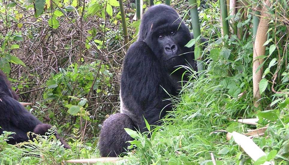 Gorilla-family-G3