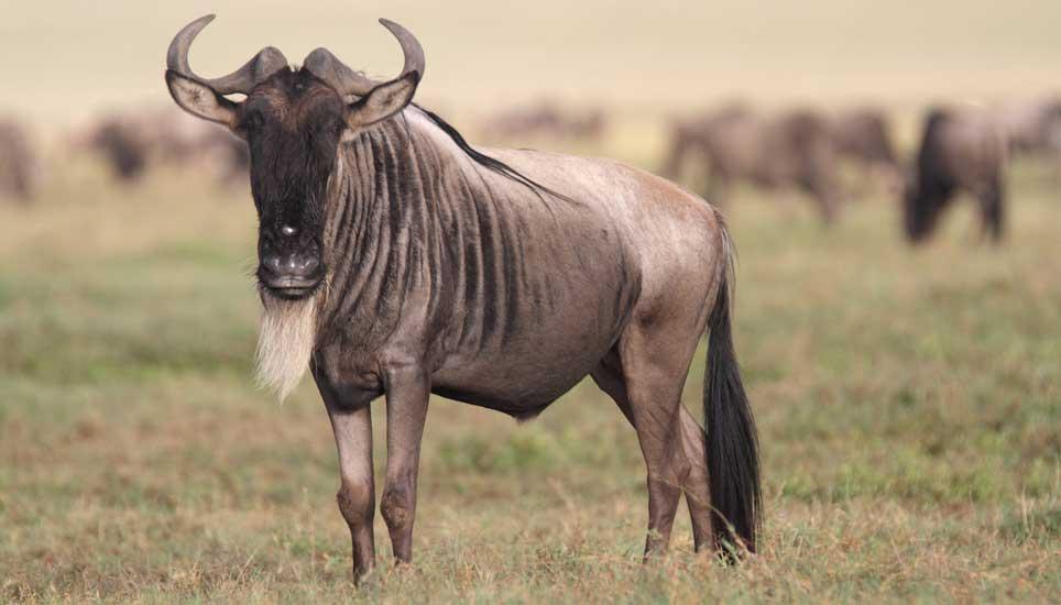 Wildebeest-Waterfalls-G3