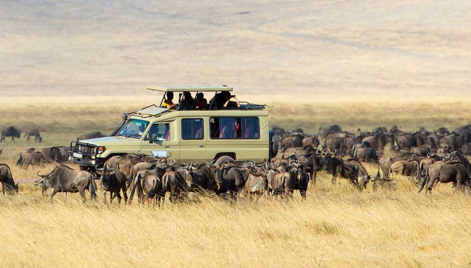 Wildebeest and land rover