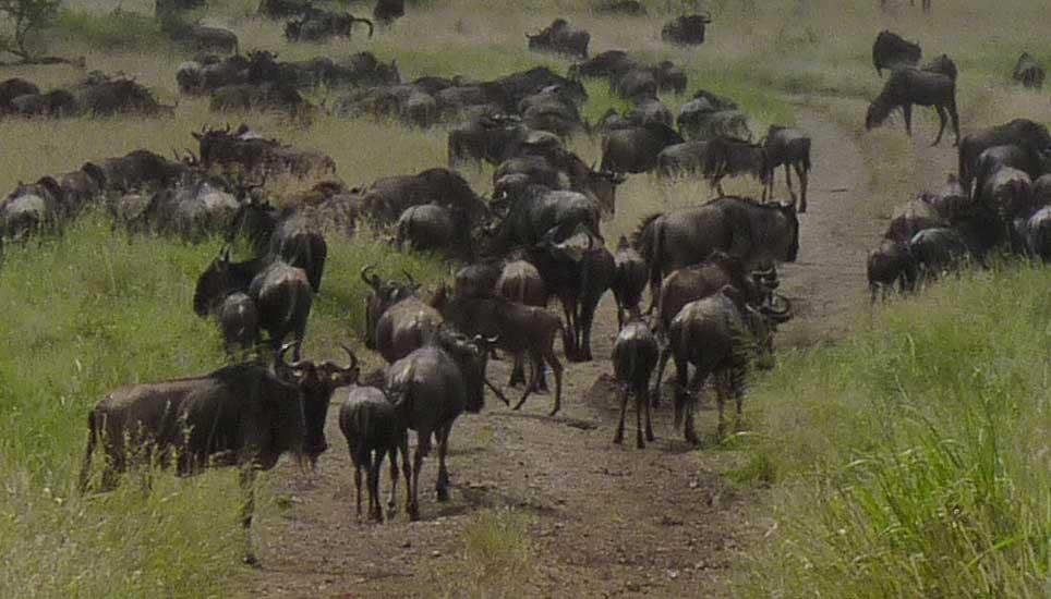 wildebeest-G1