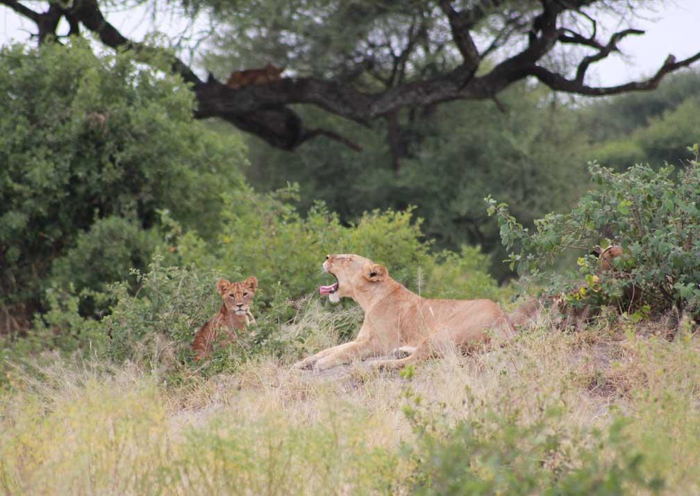 Lions near Mbali Mabli Tarangire River Camp