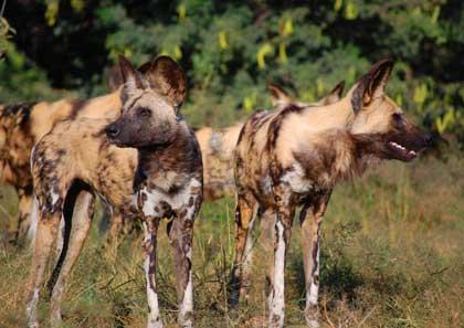 wilddog, Tanzania