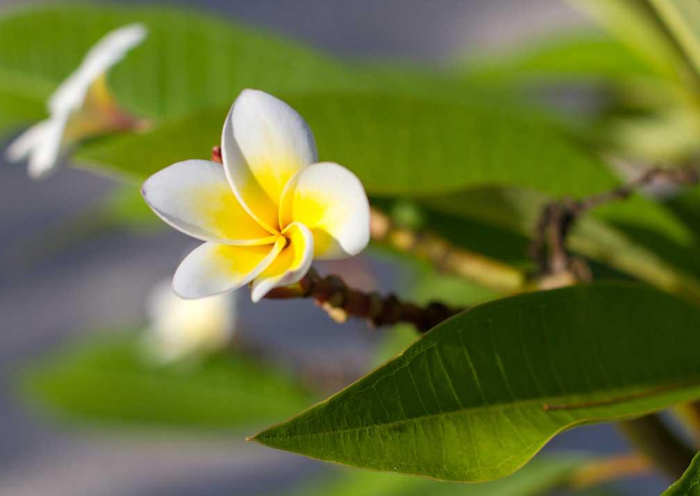 Frangipani flower at Kisiwa on the Beach
