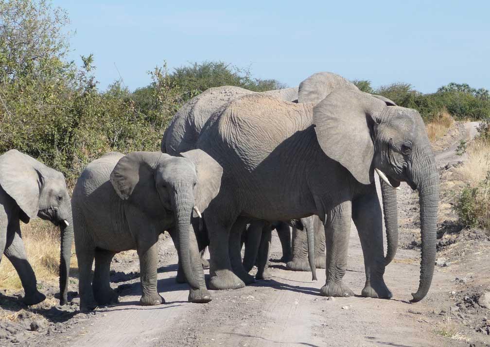 Mikumi-elephants